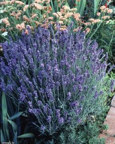 From English lavender to 'Grosso' hybrid lavender to Spanish lavender, discover . From English lavender to 'Grosso' hybrid lavender to Spanish lavender, discover beautiful lavender varieties and get growing tips from the experts at HGTV Gardens. Lavender Garden, Lavender Flowers, Lavender Plants, Container Gardening Vegetables, Planting Vegetables, Lavender Varieties, Spanish Lavender, Growing Lavender, Big Garden