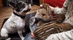 this frenchie adopted wild pigglets! so adorable it hurts. click through to see all the photos, they are super precious.