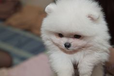 Inspiring image animal, cute, dog, dogs - Resolution - Find the image to your taste Cute White Puppies, Cute Puppies, Cute Dogs, Dogs And Puppies, Fluffy Puppies, Cute Pomeranian, Cute Funny Animals, My Animal, Baby Animals
