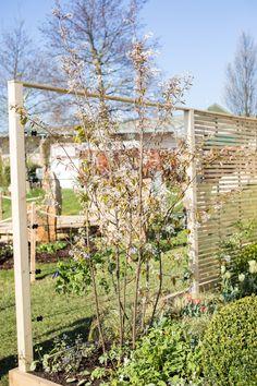Amelanchier lamarckii at Harrogate Spring Flower Show.  Transition garden by North Leeds Garden Design