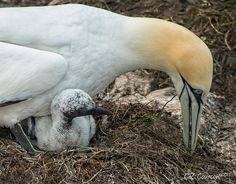 Northern Gannet (Morus bassanus) With Chick