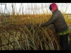 Living willow structure management