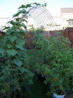 Built my first cattle panel arch trellis today! - Vertical Gardening Forum - GardenWeb