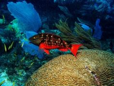 Spectacularly red the stoplight parrotfish live in and feed on the coral reefs Brain Coral, Parrot Fish, Ocean Depth, Stop Light, Colorful Fish, Killer Whales, Underwater World, Ocean Life, Aquarium Fish