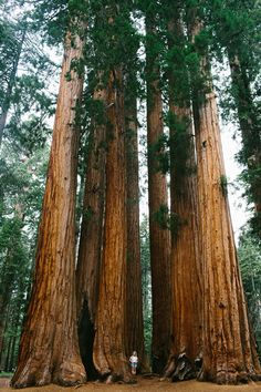 what a group - sequoia national park, ca by ikuiper Giant Sequoia Trees, Giant Tree, Big Tree, Trees And Shrubs, Trees To Plant, Sequoia National Park, National Parks, Landscape Photography, Nature Photography