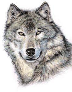 Wolfs #Zeichnung aus dem #Buch Tiere zeichnen - Christophorus Verlag