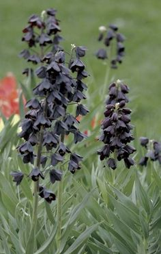 Fritillaria Persica Adiyaman is a robust bulbous perennial growing 70 cm in height, flowers (april-may) ranging in colour from deep purple to greenish brown ; sun and drained/sandy soil. Sandy Soil, Deep Purple, Perennials, Sun, Garden, Garten, Gardens, Perennial, Tuin