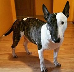 Beautiful bull terrier                                                       …