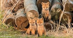 Cool things you should know about foxes (and what the fox really says!) | Iowa DNR
