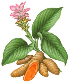 Turmeric illustration of the plant with its flower and its root.