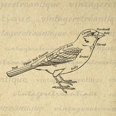 Printable Graphic Bird Diagram Image Digital Download Vintage Clip Art. Vintage digital image graphic from retro artwork. This high quality, high resolution printable digital artwork works well for iron on transfers, making prints, pillows, t-shirts, tea towels, papercrafts, and more great uses. Personal or commercial use. This digital image is high quality and high resolution at size 8½ x 11 inches. Transparent background version included with every digital image.