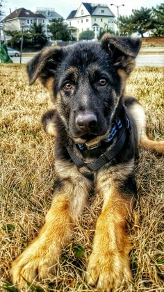 Our Charlie. Best thing we could have ever done was get a German Shepherd.