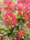 Metrosideros 'Maungapiko' flowering at Christmas time Pin Up Hair, Native Plants, Pin Collection, Christmas Time, Lush, Flowers, Southern, Rainbow, Masks