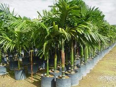 Visit the post for more. Plants, Landscaping With Palm Trees, Patio Ideas, Plant, Planets