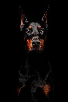 Doberman Dog Lovers Doberman Dogs Dobermann Pinscher