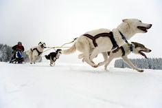 siberian huskies and dog sledding - Google Search