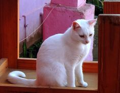White cat Photo by Lauro Winck -- National Geographic Your Shot