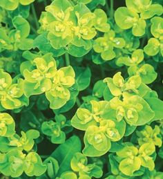 Euphorbia oblongata is the all round best-looking, longest-flowering foliage plant you can find anywhere in the world. Use it to line your paths in your cutting patch.