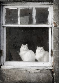 Photo of beautiful white cats by rbrosseau Cool Cats, I Love Cats, Crazy Cat Lady, Crazy Cats, Gatos Cool, Cat Window, Window Sill, Amor Animal, Photo Chat