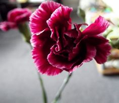 Photo i took of a carnation x