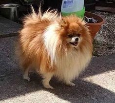 Meet Joey, an adoptable Pomeranian looking for a forever home. If you're looking for a new pet to adopt or want information on how to get involved with adoptable pets, Petfinder.com is a great resource.