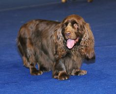 Sussex Spaniel Apartment #VetsSomerset The Suss...