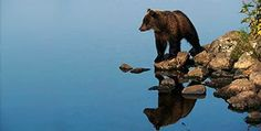 Bears are highly intelligent; some researchers believe grizzlies possess self-awareness, as there have been accounts of grizzly bears covering their tracks or concealing themselves from hunters with rocks and trees.