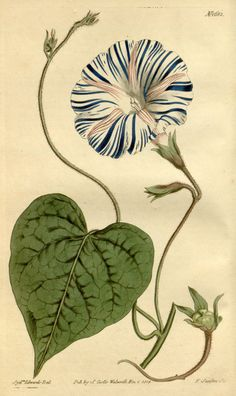 Ipomoea purpurea (L.) Roth var. varius [as Convolvulus purpureus L. var. varius]. Curtis's Botanical Magazine, vol. 41: t. 1682 (1815) S.T. Edwards.
