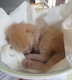 4-day old ginger kitten rescued under porch then and now sleeping in bowl
