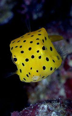 Yellow Box-fish - ocean and sea life Underwater Creatures, Underwater Life, Ocean Creatures, Beautiful Sea Creatures, Animals Beautiful, Pretty Animals, Colorful Fish, Tropical Fish, Fauna Marina