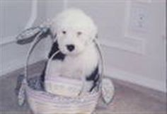 Easter Bunny left us a sweet puppy we call Angel 9 years ago. Find out what is America's favorite pet! Old English Sheepdog puppy or rescue please call or text 214-448-2888 .... texassheepdogpup@gmail.com....Akc Export for Britz Royal Croft family