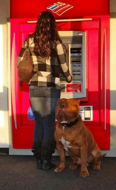 large pit bull guarding woman at the atm
