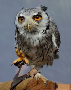 """Cloudy Owl """"M'Lord"""" - """"Stormtrooper..."""""""