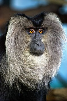 The Lion-tailed Macaque (Macaca silenus) is an Old World monkey that lives only in the Western Ghats of South India.  Only approximately 2,500 of these animals live scattered over several areas in Karnataka, Kerala and Tamil Nadu.  Wise Guy by Allard One