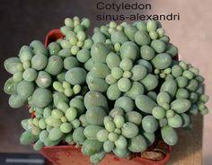 cotyledon - Google Search
