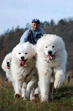 Samoyed gloriousness
