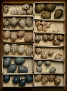 songbird eggs