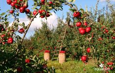 If you're mulling over planting fruit trees on your homestead, you may want to grow apple trees. Apples are a valuable fruit crop. Planting Fruit Trees, Prune Fruit, Growing Fruit Trees, Fruit Plants, Edible Plants, Straw Bale Gardening, Gardening Tips, Agriculture Bio, Apple Benefits