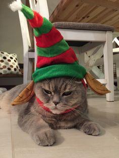 Cat, elf, funny cats
