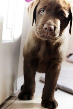 chocolate lab puppy cuteness: gonna wake up to this everyday soooon!!!