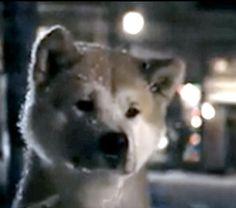 Hachiko - I cry every time :( Hachiko Dog, Spitz Breeds, St Louis Zoo, Japanese Akita, Bear Attack, American Akita, Dog Best Friend, Akita Dog, Dog Stories