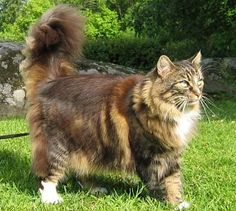 Norwegian Forest Cat - Cats of the World