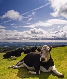 Cattle relaxing on a sunny day.
