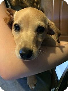 Verona, NJ - Terrier (Unknown Type, Small) Mix. Meet Ariel, a puppy for adoption. http://www.adoptapet.com/pet/13175874-verona-new-jersey-terrier-unknown-type-small-mix