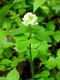 Trifolium stoloniferum (running buffalo clover) in flower.