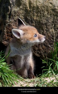 Fox Cub by Hardpoint Photography - Photo 1840585 / 500px