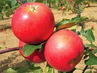 Jablka k uskladnění: 15 zimních odrůd jabloní odolných vůči padlí a strupovitosti