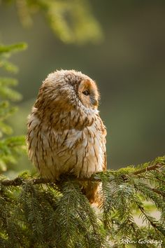 **Tawny owl Lost in thought by johngoodayphotography