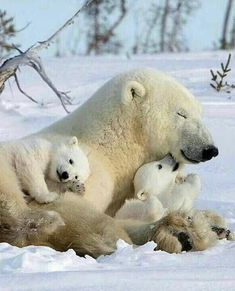 Polar bear with cubs Nature Animals, Animals And Pets, Wild Animals, Cute Baby Animals, Funny Animals, Cute Polar Bear, Polar Bear Cubs, Grizzly Bears, Tiger Cubs