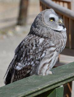 Great Grey owl (_Strix nebulosa_)